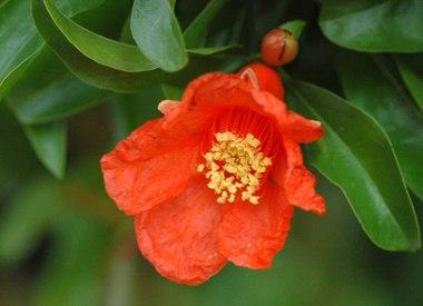 Zakuro ザクロ(「紅一点」の由来の花): とし爺さんの花便り とし爺さんの花便り 花ある時