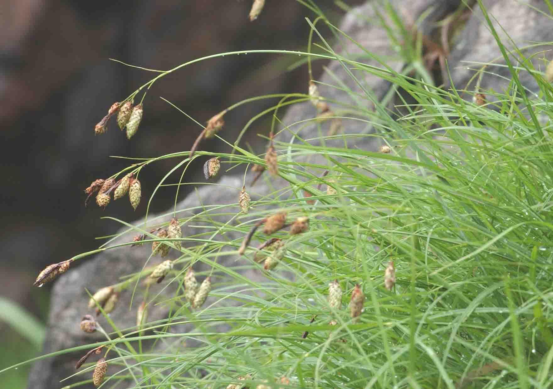コタヌキラン(植物界のピーピング・トム): とし爺さんの花便り とし爺さんの花便り 花ある時は花