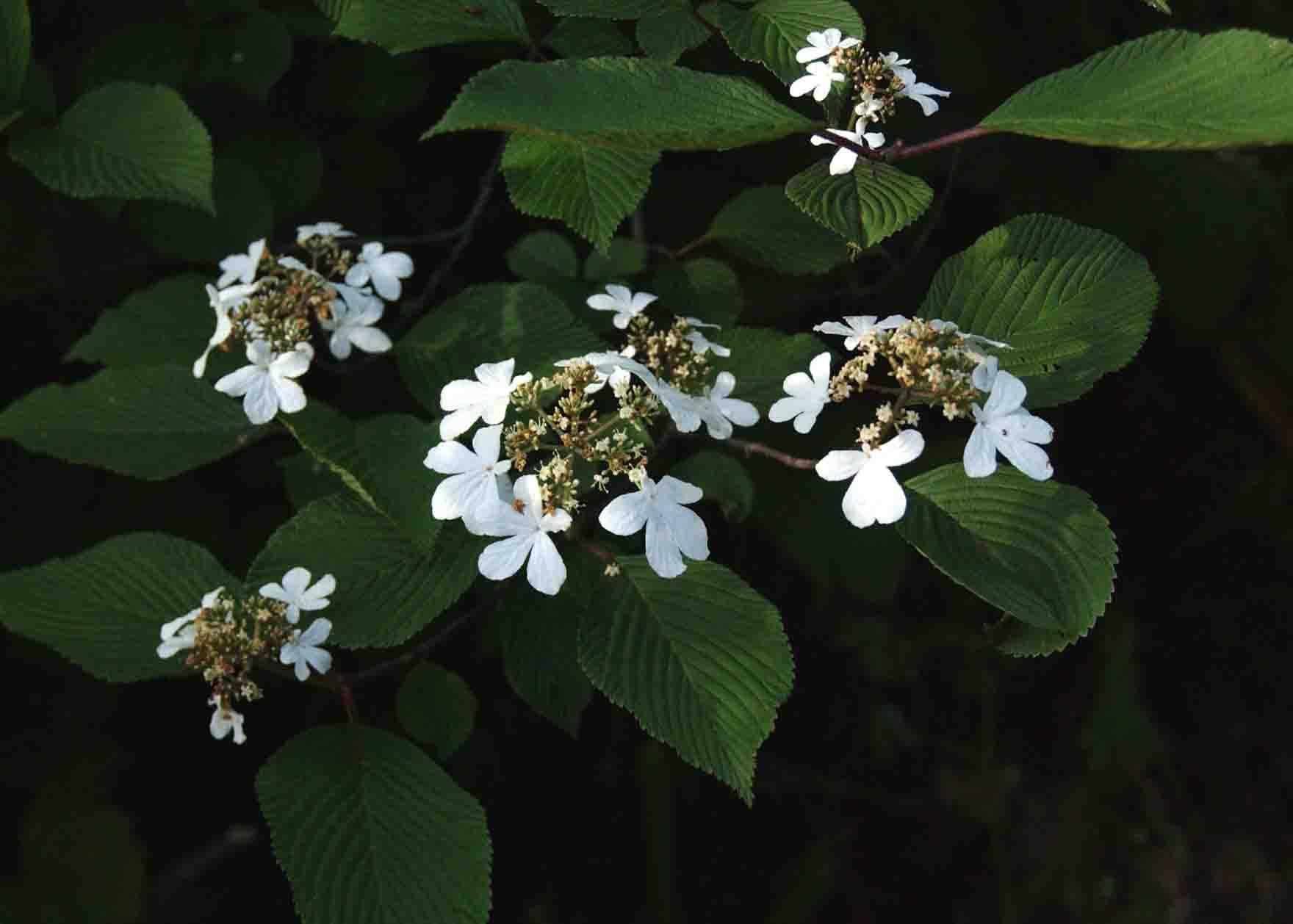 ookameoki オオカメノキ(別名をムシカリと言う): とし爺さんの花便り とし爺さんの花便
