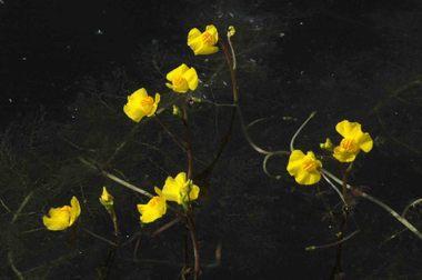 Tanukimo タヌキモ(可愛い顔をして虫を食う): とし爺さんの花便り とし爺さんの花便り